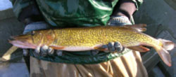 chainpickerel