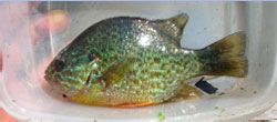 commonsunfish