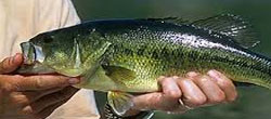 largemouthbass